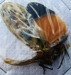 Orange Wing Lanternfly Planthopper Pyrops astarte Orange Form  FAST SHIP FROM US
