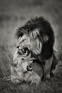 KINGDOMY, Nikolai Zinoviev gorgeous lion couple
