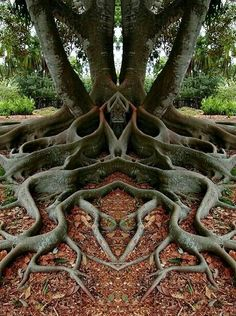Is nature cool, or what? The Moreton Bay Fig tree is more than 160 years old. It is in Santa Barbara, California. Not sure if this is real or photoshopped, but it is amazing!The amazing symmetry of mother nature. ~via Save our green, FB. Weird Trees, Unique Trees, Tree Roots, Tree Art, Science And Nature, Nature Nature, Flowers Nature, Nature Animals, Amazing Nature