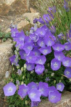 CAMPANULA carpatica 'Blaue Clips' - Karpaterklokke, farve: blålilla, lysforhold: sol/halvskygge, højde: 20 cm, blomstring: juli - august.