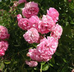 'Dorothy Perkins' rose (Rosa 'Dorothy Perkins')