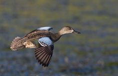Blue Winged Teal female Waterfowl Hunting, Duck Hunting, Hunting Stuff, Teal Bird, Blue Winged Teal, Duck Pictures, Decoy Carving, Blue Wings, Puppy Eyes