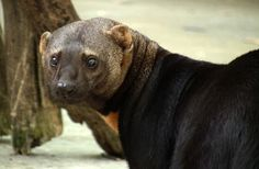 The Tayra, also known as the tolomuco or perico ligero in Central America, irara in Brazil, san hol or viejo de monte in the Yucatan Peninsula, and high-woods dog in Trinidad. They are an omnivorous animal from the weasel family Mustelidae. Wikipedia Scientific name: Eira barbara Rank: Species Higher classification: Eira