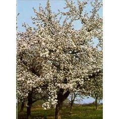 Malus Domestica (Pyrus Malus, Malus Sylvestris, Apple Tree, Common Apple, Domestic Apple, Malus Communis)