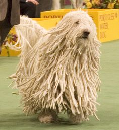 Ch. Gillian's Quintessential Quincy (born April 17, 2007), a male Komondor at the working group judging in the 2007 Westminster Kennel Club Dog Show.