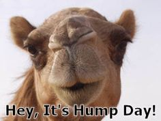 hump day camel pictures | stuff emailed each day camel s hump day add comment