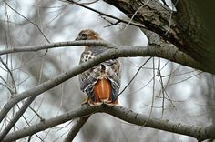 Red-tail Hawk by Jewels Johnson on Capture Wisconsin // Got lucky to get this guy just after he had caught his lunch at 9 Springs E-Way