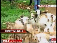 Kerala monkey doubles up as a shepherd Double Up, Rabbi, Kerala, Ash, Monkey, King, Girls, Youtube, Gray