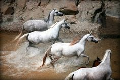 A small herd of mares in a Sharjah river taken by Glenn Jacobs Photography. www.glenn-jacobs.com