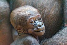 Portrait of the cute baby gorilla by Tambako