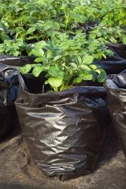 Growing potatoes in a plastic sack