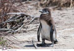 Südafrika #7: Die Pinguine von Betty's Bay (Stony Point) Stony Point, Beach, Photos, Cape Town, Pictures, The Beach, Beaches
