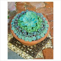 GAP Photos - Garden & Plant Picture Library - Drought resistent succulent leaved plants arranged in rings in a shallow terracotta pan. Echeverias with Sedum spathulifolium 'Purpureum' and Rhodiola pachyclados - GAP Photos - Specialising in horticultural photography