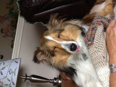Poor sheltie on pain pills after surgery...but still so cute!!!