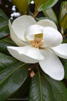 magnolia grandiflora, the state flower of both Louisiana and Mississippi, que casualidad! Exotic Flowers, Love Flowers, My Flower, White Flowers, Flower Power, Beautiful Flowers, Flor Magnolia, Sweet Magnolia, Magnolia Trees