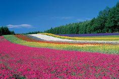紫色の絨毯!ラベンダー名所・富良野へ | Club Traveler
