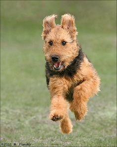 Airedale Terrier, from England