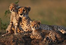 TEHRAN – An Asiatic cheetah and two Persian leopards have been spotted in Shahrood county in north central Semnan province, Amir Abdous, the provincial department of environment (DOE) chief has announced. Cheetah Family, Cheetah Cubs, Asiatic Cheetah, Disney World Rides, Parc National, Wildlife Nature, Leopards, African Safari, Big Cats