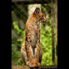 The largest online art gallery and community Eurasian Lynx, Online Art Gallery, Worlds Largest, Community, Lynx, Communion