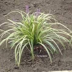 How to prune Variegated Lilyturf (Liriope Muscari) – Pet Scribbles - Modern Variegated Liriope, Liriope Muscari, Dry Riverbed Landscaping, Landscaping With Rocks, Texas Landscaping, Periannual Flowers, Insect Repellent Plants, Lily Turf, Monkey Grass