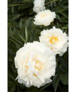 Bowl Of Cream Double Peony (Paeonia x 'Bowl of Cream') - Monrovia - Bowl Of Cream Double Peony (Paeonia x 'Bowl of Cream') Fast grower to 1 1/2 to 2 ft. tall, 2 to 3 ft. wide. Remove seed heads after bloom for a neat appearance. Prune foliage in fall.