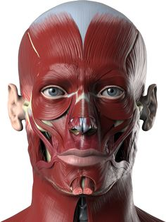 Anatomy Drawing Medical Anatomy Next - Human anatomy reference images and interactive teaching tools - Facial Anatomy, Head Anatomy, Anatomy Poses, Anatomy Study, Body Anatomy, Anatomy Reference, Face Muscles Anatomy, Facial Muscles, Human Anatomy For Artists