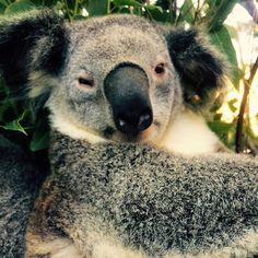Poor Rogue didn't appreciate waking up for a belly rub. I'm sorry buddy. #cutiepie #cuteanimalselfies #cuteanimals #currumbinwildlifesanctuary #koala #koalasofinstagram #australia #australiannativeanimals #australiannativeanimalconservation #wildlife #wildlifepark #wildlifeprotection #wildlifephotography #wildlifesanctuaries #zoo #goldcoast #queensland #marsupial #notabear by cute_animal_selfies http://ift.tt/1X9mXhV