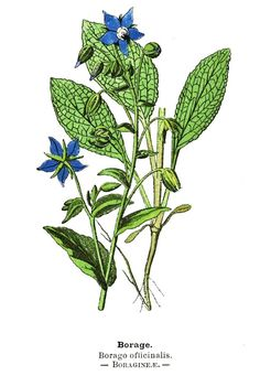 How To Grow Borage | Herb Gardening Guide