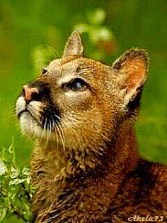 photo wildcat_uja98e2l.gif