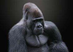 Western Lowland Gorilla | ©Michael Sheridan