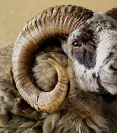 Tusks and horns are curved, but not usually in a spiral, so they cannot be considered examples of Fibonacci numbers in nature. Farm Animals, Animals And Pets, Cute Animals, Beautiful Creatures, Animals Beautiful, Animals With Horns, Hirsch Tattoo, Wooly Bully, Big Horn Sheep