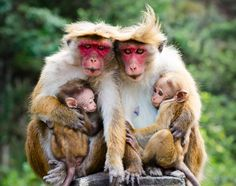 #photo of #young #apes #familiy www.landidee.nl Foto: Shutterstock