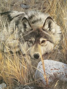 WOLF ART PRINT One to One (detail) by Carl Brenders Wildlife 14x11 Wolves Poster #Realism