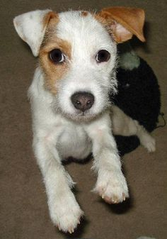 Hana the Parson Russell Terrier Pictures 1036991