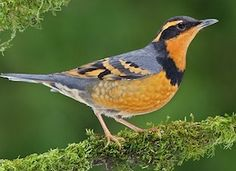 During the winter, you'll find Varied Thrush in mid-elevation forests all the way down to sea level. Because Varieds have to wait for areas in upper elevations to thaw before they migrate in the spring, you can often still hear them singing into June at low elevations. Head uphill to find them during the breeding season. They often forage along trails and roadsides, so watch for the flash of orange on their wings as they fly up to a safer perch. #MustSeeBirds