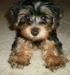 maltese yorkie mix puppies for sale Cute Puppies puppy