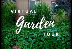 Come tour this beautiful Atlanta-inspired garden in Phoenix. Through soil-building and a big imagination, this gardener created an oasis on a budget. Fig Leaf Tea, Okinawan Sweet Potato, Arizona Gardening, Apple Varieties, Diy Projects For Beginners, Ground Cover Plants, Fig Leaves, Real Plants, Fig Tree