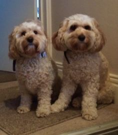 Wilma & Betty our cockapoo dogs