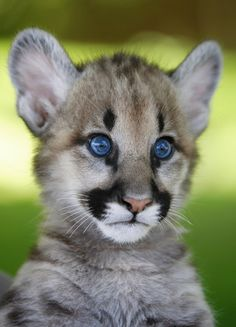 Cougar Cubs Wallpaper Baby Animals Animals Wallpapers) – Wallpapers For Desktop I Love Cats, Big Cats, Cute Cats, Cats And Kittens, Beautiful Cats, Animals Beautiful, Cute Baby Animals, Animals And Pets, Cubs Wallpaper
