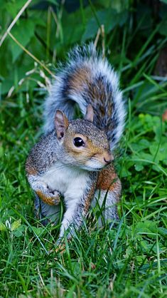Squirrel Wallpaper Other Animals Wallpapers) – Beautiful Wallpapers Animals And Pets, Baby Animals, Funny Animals, Cute Animals, Cute Squirrel, Baby Squirrel, Squirrels, Squirrel Pictures, Animal Pictures
