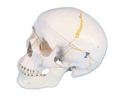 "3B Scientific A21 Plastic 3 Part Numbered Human Classic Skull Model, 7.9"" x 5.3"" x 6.1""  #Sale #BlackFriday #AnatomicalModels #Toys"