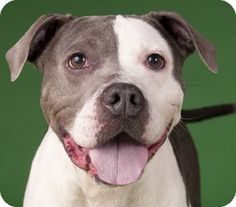Chicago, IL - American Pit Bull Terrier Mix. Meet Precious Matilda, a dog for adoption. http://www.adoptapet.com/pet/11307817-chicago-illinois-american-pit-bull-terrier-mix