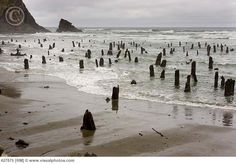 Coastal erosion uncovers 2000 year old tree stumps, called the Ghost Forest near Neskowin, Oregon