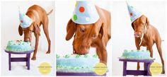 Pet photography - Dog Cake Smash - pet portraits - vizsla - dog birthday party - pet portraits - natural light  San Diego Pet Photography  Melanie Monroe Photography