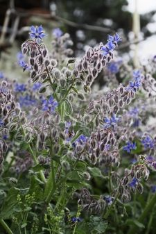 Borage - Annual. Self seeds. 2-3 feet. Good companion plant for vegetables and strawberries. Edible flowers. Leaves and stems are somewhat prickly.