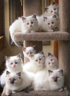 Litters by Lacy and Sonata... what a shot! #ragdollcatswhite