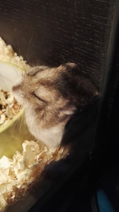 She fell asleep next to her food bowl. That doesn't seem very comfortable but OK I guess. #aww #Cutehamsters #hamster #hamstersofpinterest #boopthesnoot #cuddle #fluffy #animals #aww #socute #derp #cute #bestfriend #itssofluffy #rodents