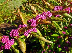 Bodinier Beautyberry #photography #card #print #canvas #nature  #berry