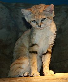 Sand cat - Wikipedia, the free encyclopedia / Also know as the sand dune cat. Found in both sandy & stony desert, living in areas far from water. Thickly furred feet. Well adapted to the extremes of a desert environment, and tolerant of extreme hot and cold temperatures. Victor Loche first described the cat in 1858 from a specimen found in the Sahara