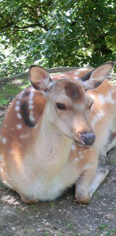 Der Tipp für einen Familienausflug: Wildpark Ernstbrunn #reh #ausflug #weinviertel Kangaroo, Goats, Animals, Deer, Families, Road Trip Destinations, Baby Bjorn, Animales, Animaux